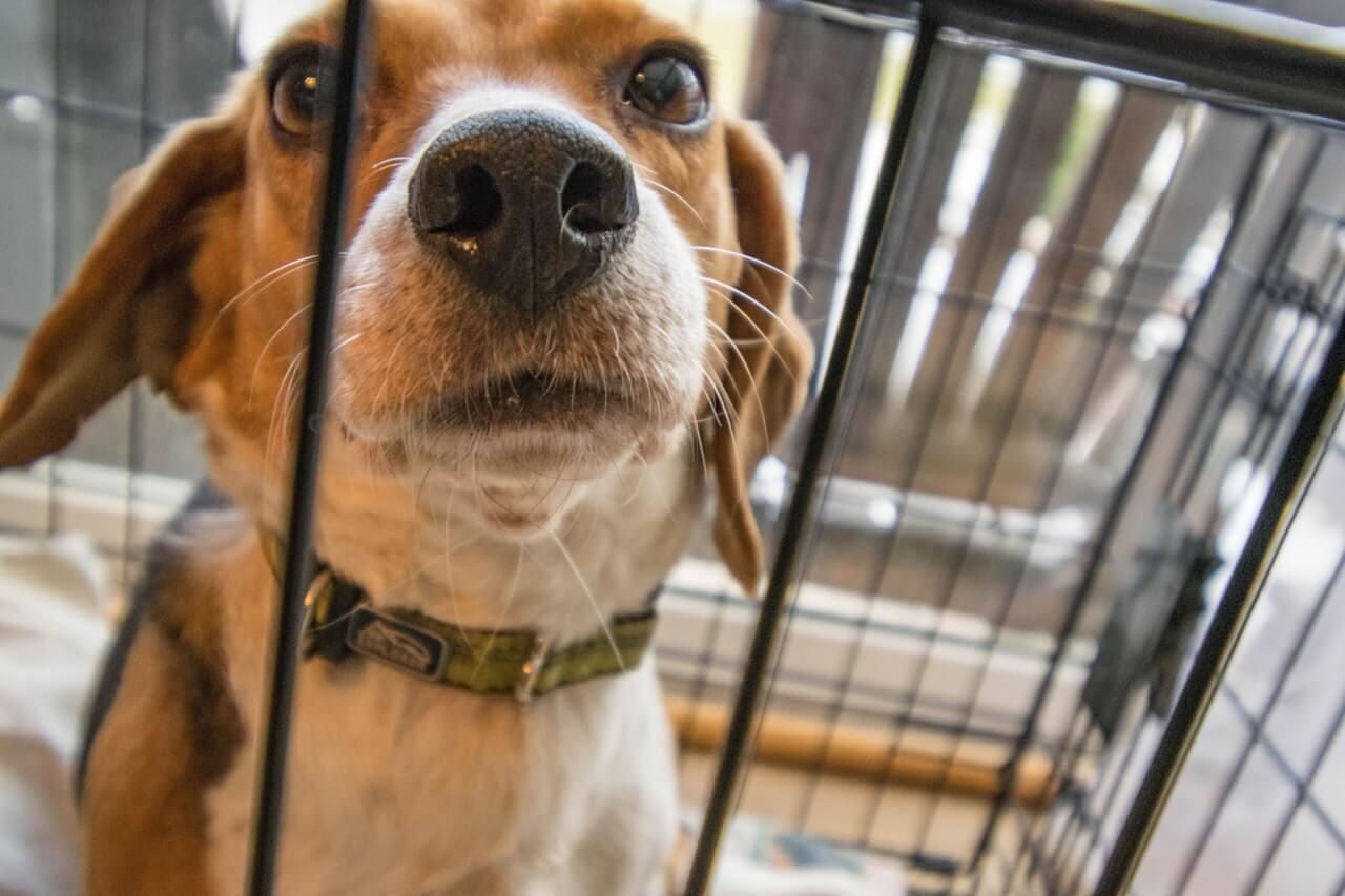 Nyfiken beagle