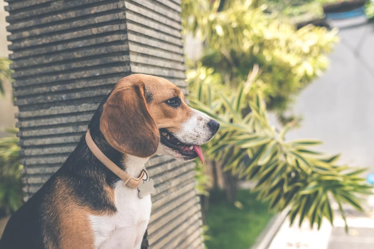 Valther beagle - fin hund i villa