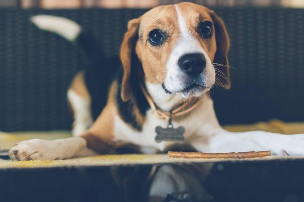 Beagle - tidigt i karriären