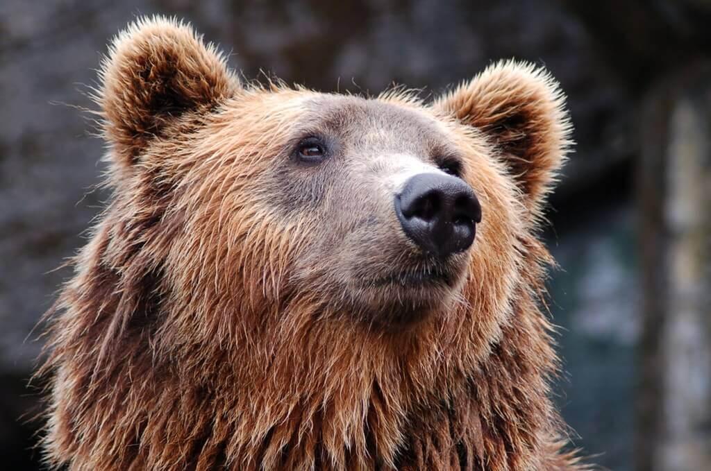 Björn i skogen